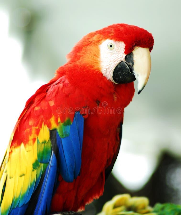 rouge d'or de macaw d'oiseau photographie stock libre de droits