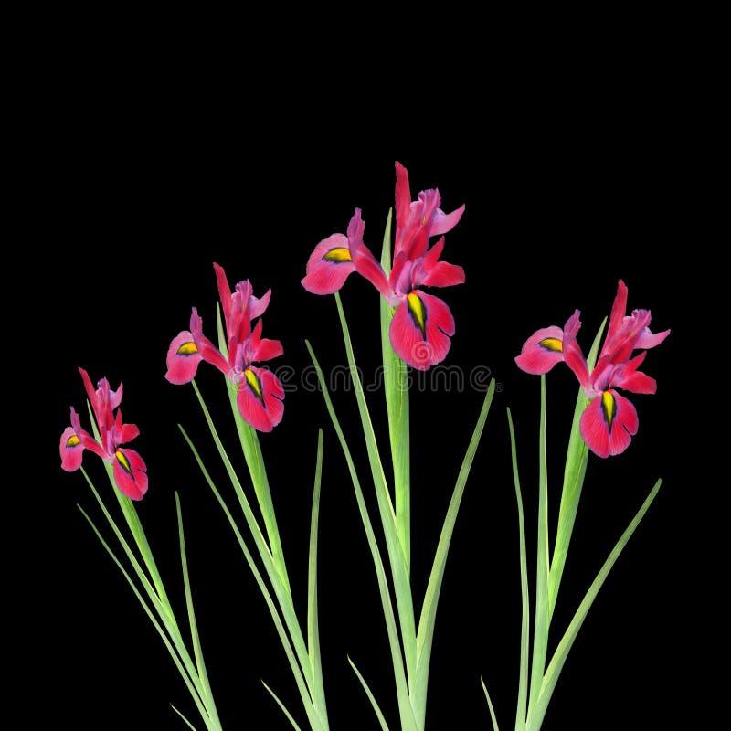 rouge d'iris de fleur de beauté image libre de droits
