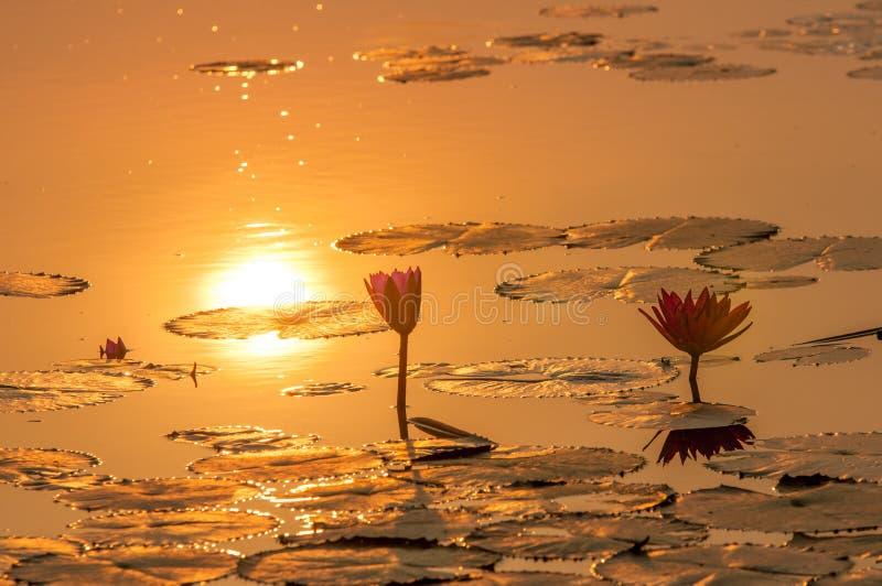 Rouge d'Ubon de fleur ou d'animal de Lotus photographie stock libre de droits