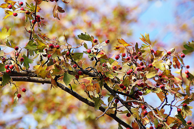 Rouge de baie d'arbre d'automne photo libre de droits
