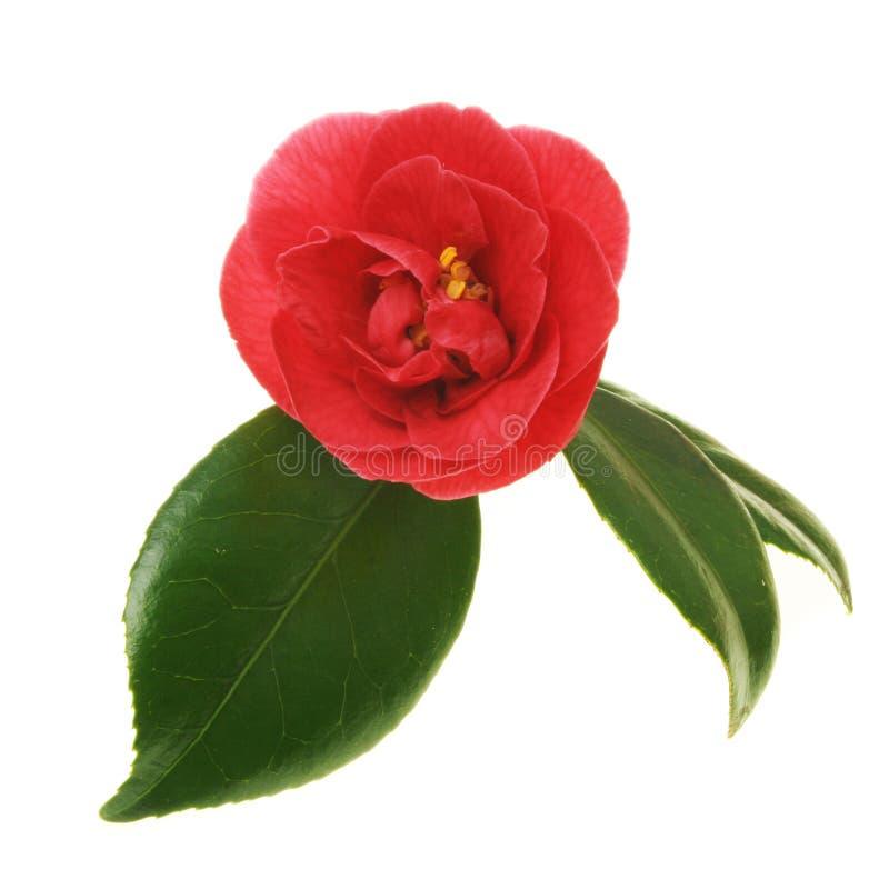 rouge de camélia image stock