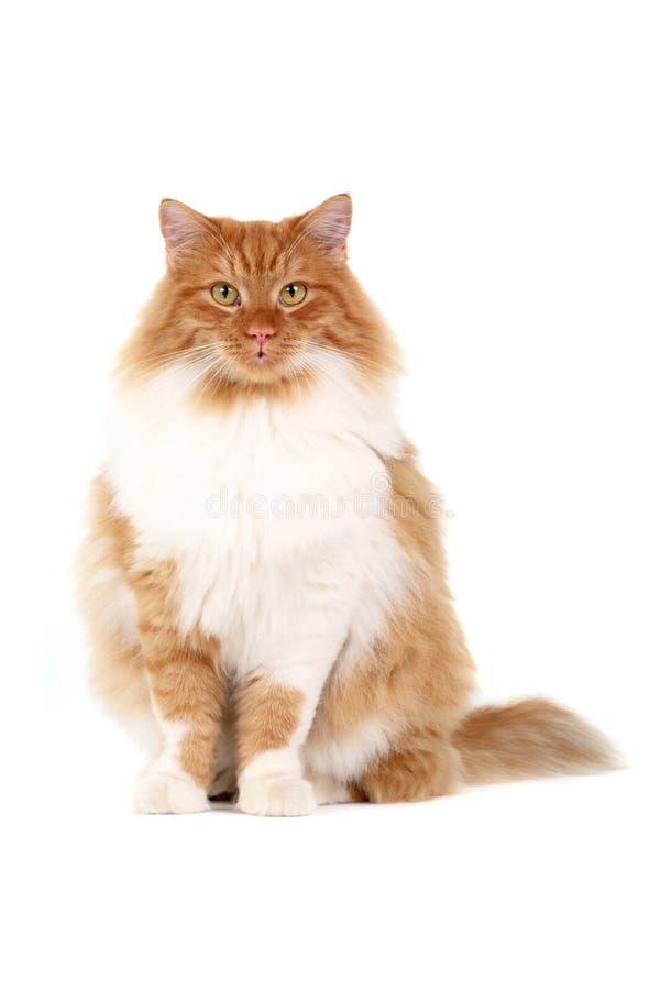 rouge de chat images libres de droits