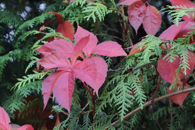 Rouge de feuillage d'automne image stock