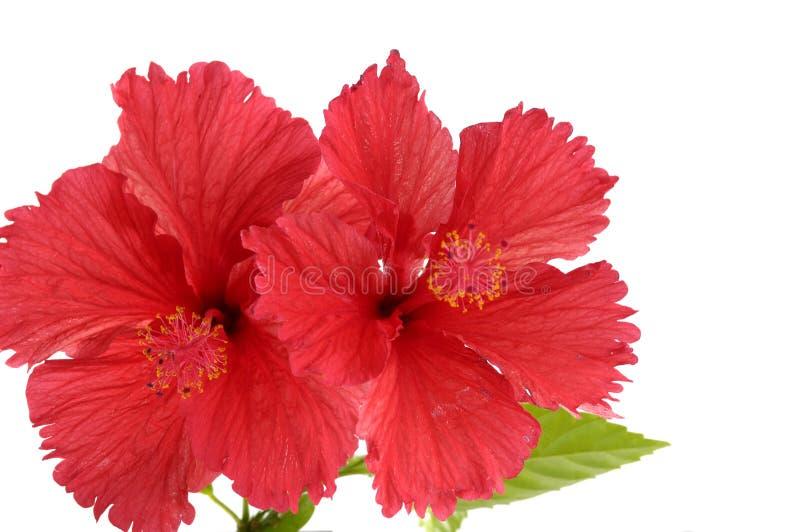 rouge de fleur photo stock