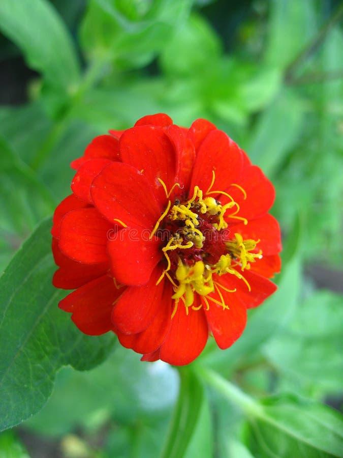 Rouge de fleur photo libre de droits