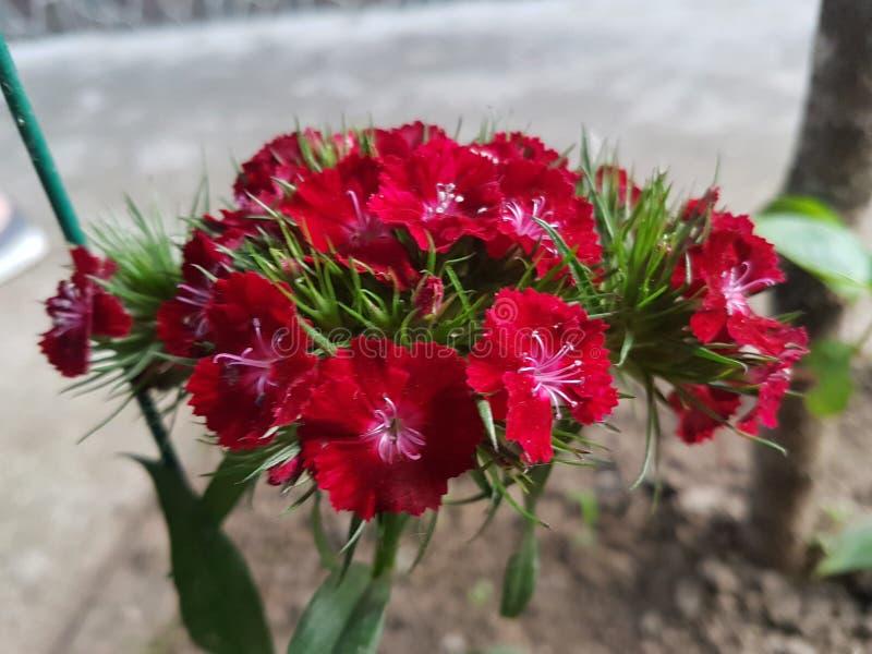 Rouge de fleur image libre de droits