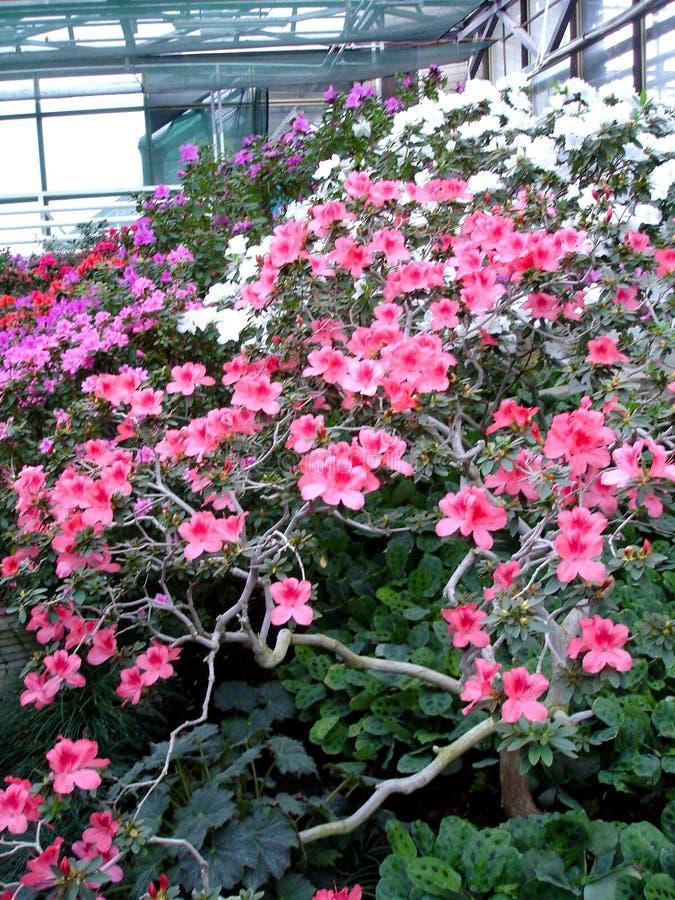 Rouge de fleur d'azalée image libre de droits