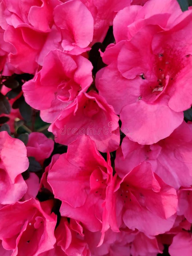 Rouge de fleur d'azal?e photos libres de droits