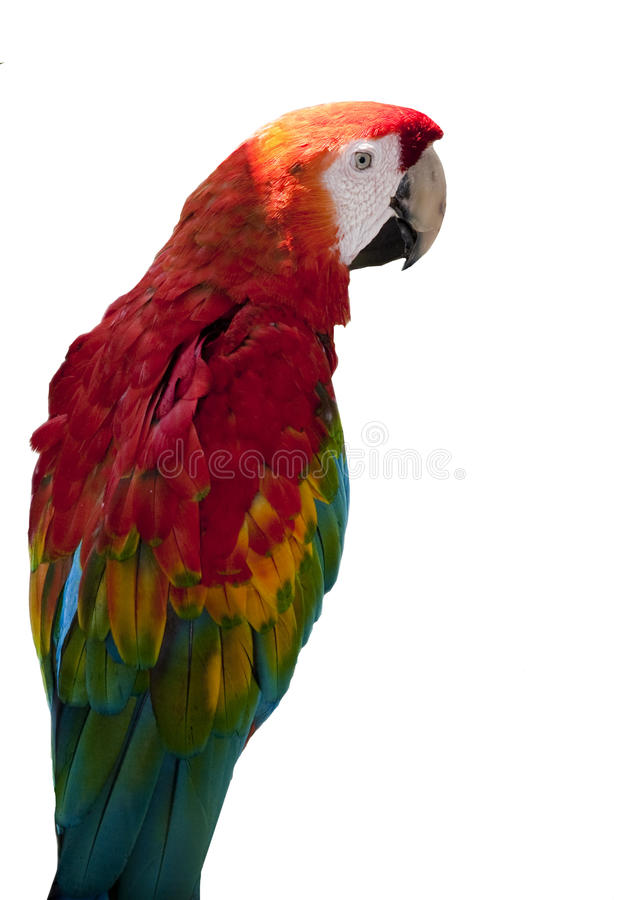 rouge de perroquet de macaw photographie stock libre de droits