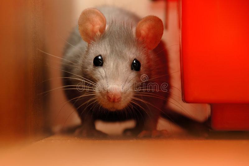 rouge de rat photos stock