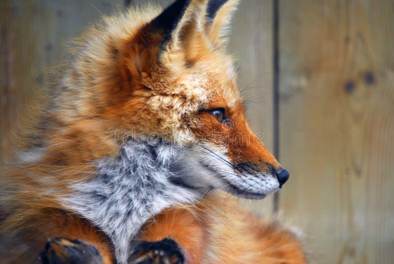 rouge de renard images stock
