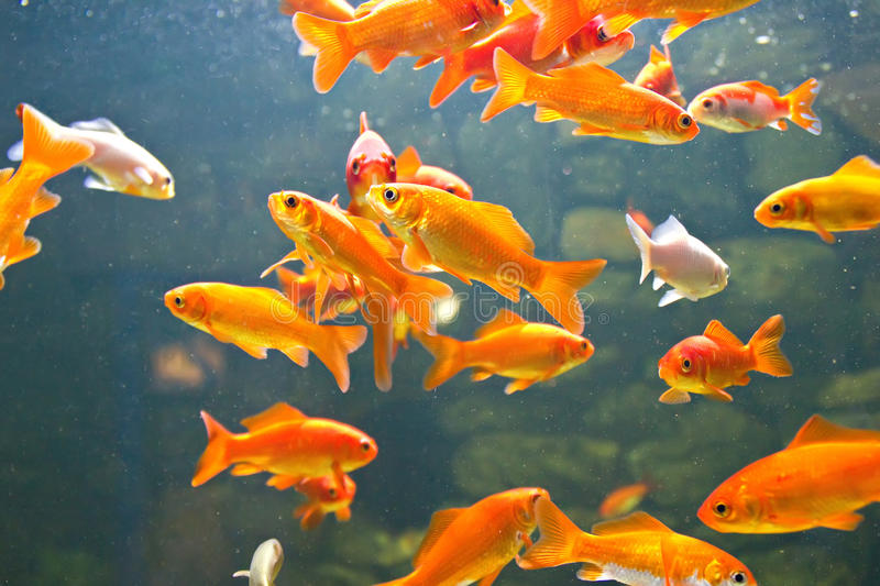 Rouge et poissons d'or image stock