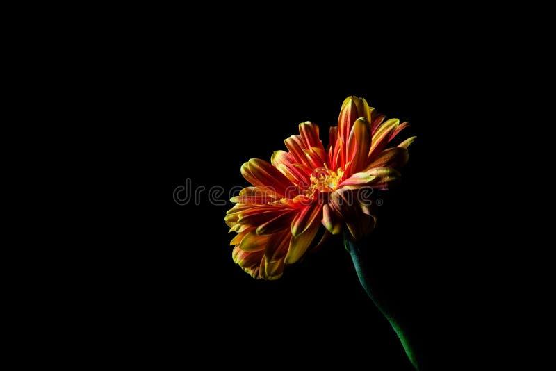 Rouge - fleur de marguerite orange photo libre de droits