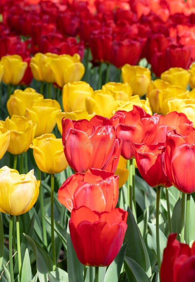Rouge Jaune Tulipe Fleurs Nature Jardin Flore images stock