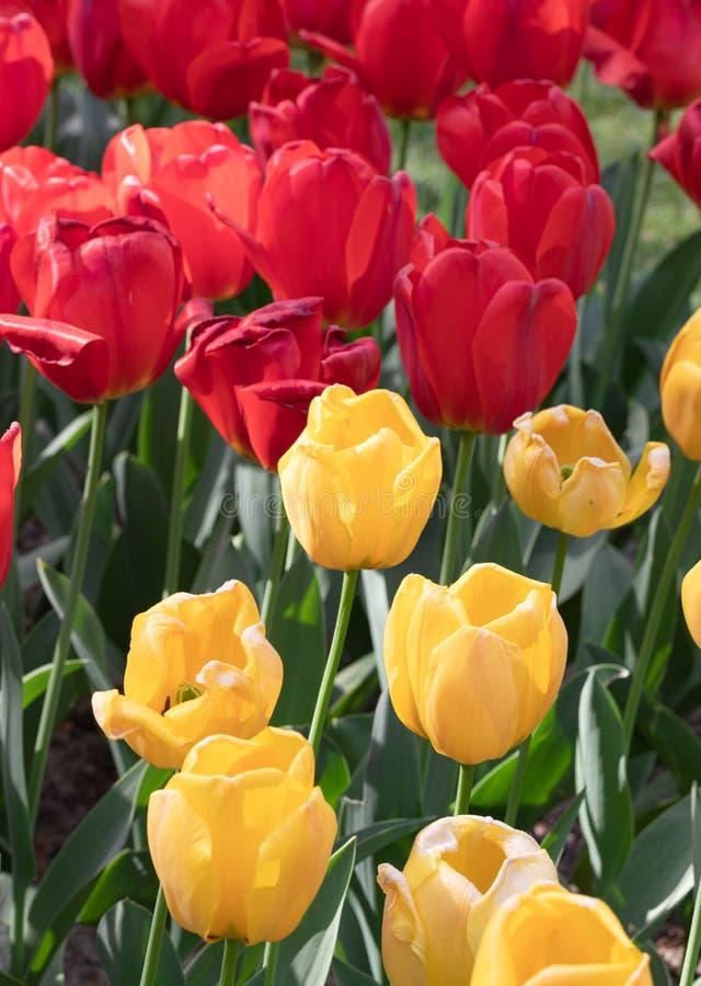 Rouge Jaune Tulipe Nature Fleurs Jardin Flore image libre de droits