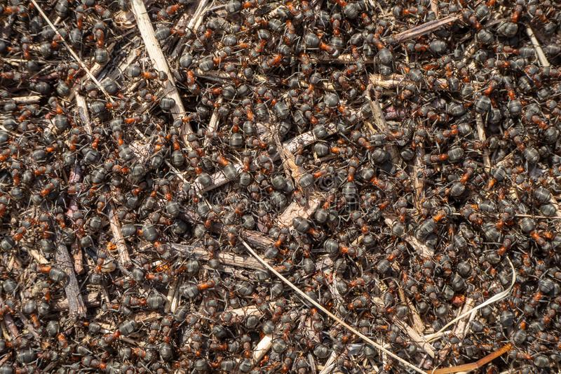Rouge, plan rapproché de fourmis de forêt photo stock
