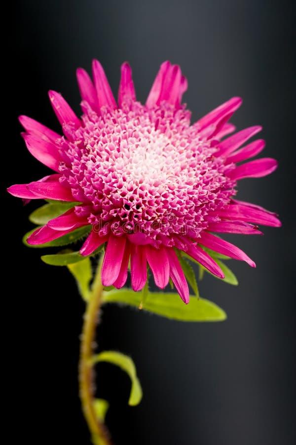 rouge proche de fleur vers le haut image libre de droits