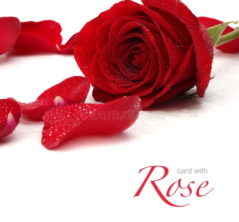 Rouge rose et pétales photo stock