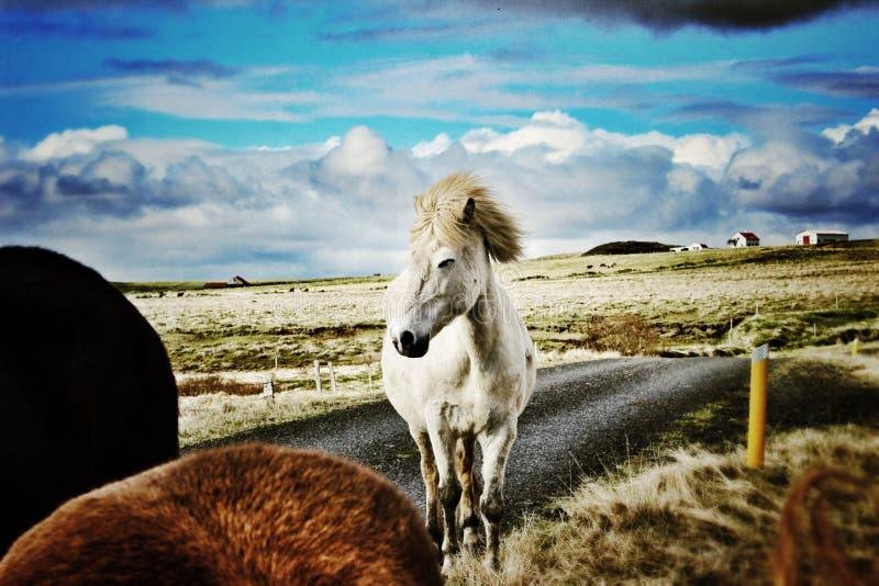 Rougeoyer de cheval blanc photos stock