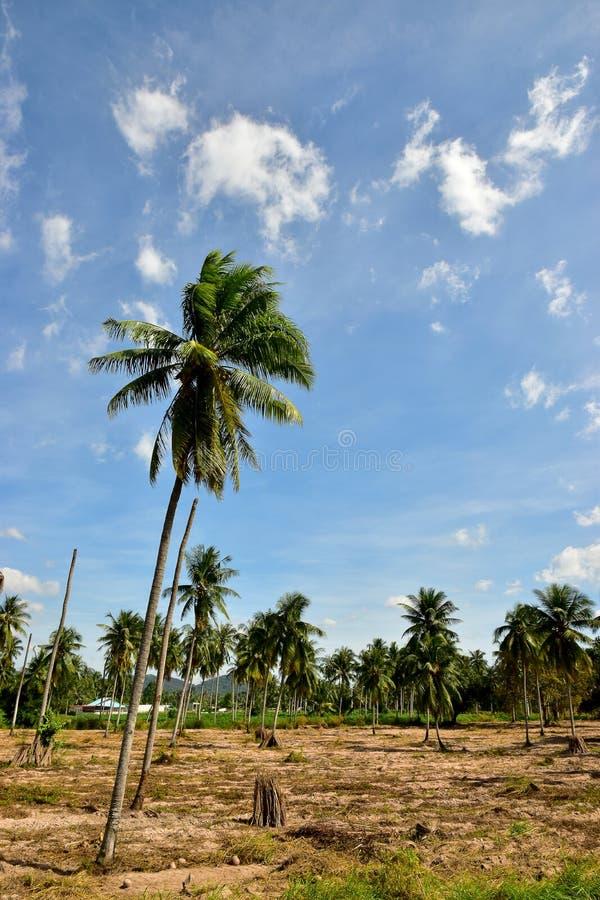 Rougeoyer de la plantation de manioc et du fond de ciel bleu image libre de droits