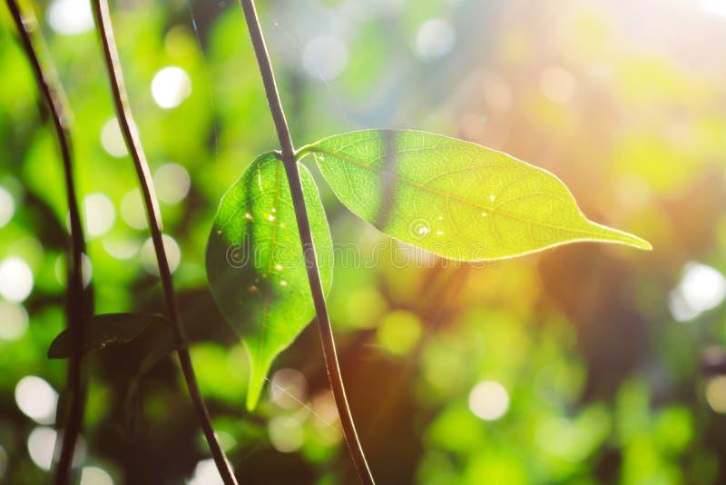 Rougeoyer laisse à thu la lumière du soleil Fin fraîche de nature  photographie stock