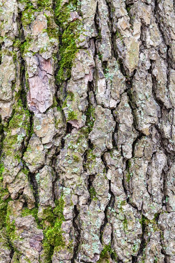 Rough bark on mature trunk of alder tree close up royalty free stock image