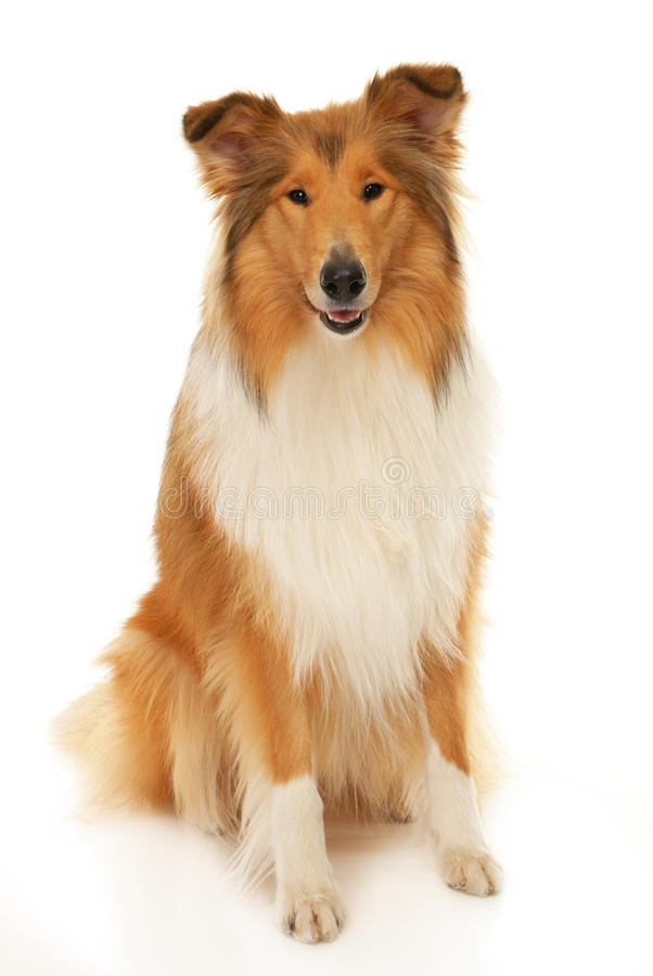 Free Rough Collie Dog Stock Images - 28419124
