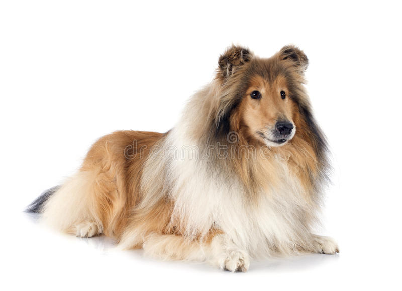 Download Rough collie stock image. Image of animal, background - 40402479