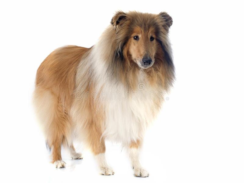 Download Rough collie stock photo. Image of background, collie - 40402484