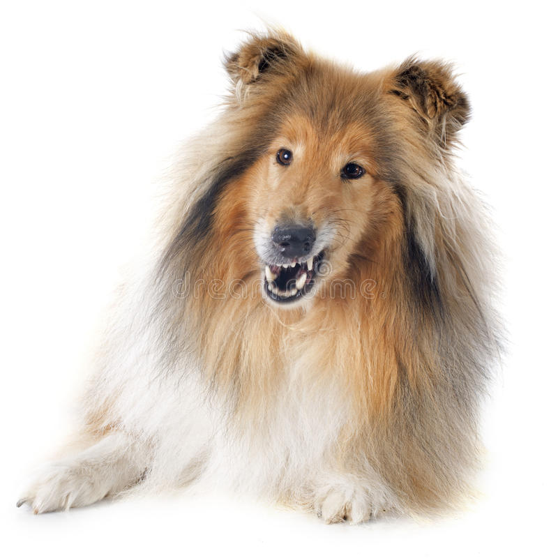 Download Rough Collie Stock Photo - Image: 40402565