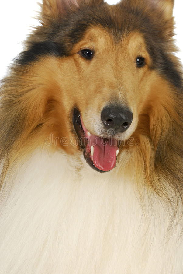 Download Rough collie portrait stock photo. Image of shaggy, mouth - 27890530