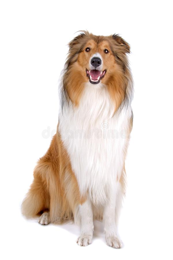 Rough collie - Scottish shepherd stock image