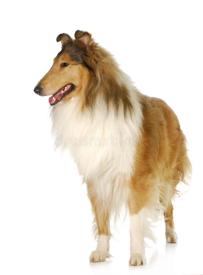 Free Rough Collie Standing Royalty Free Stock Image - 27890546