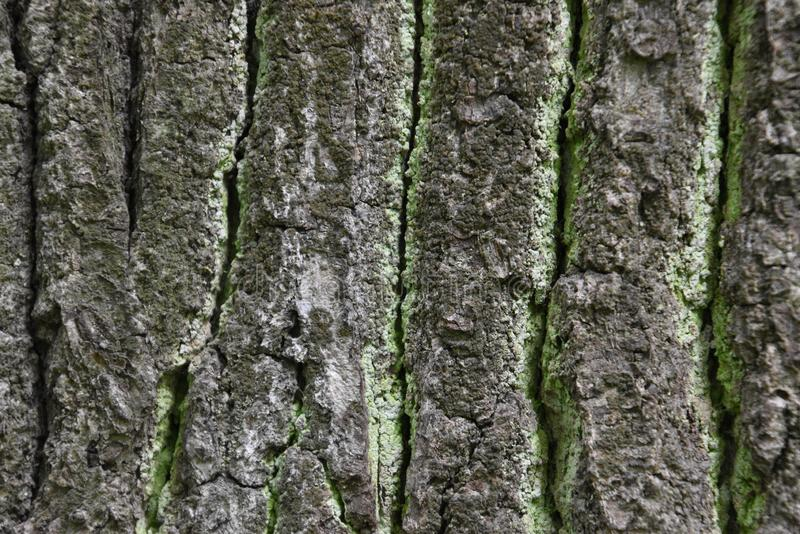 Rough green lichen-covered bark texture of old oak royalty free stock photo
