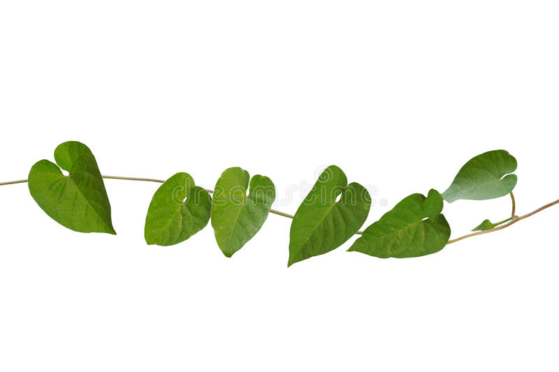 Rough and hairy heart shaped green leaves wild vine isolated on download rough and hairy heart shaped green leaves wild vine isolated on stock photo mightylinksfo