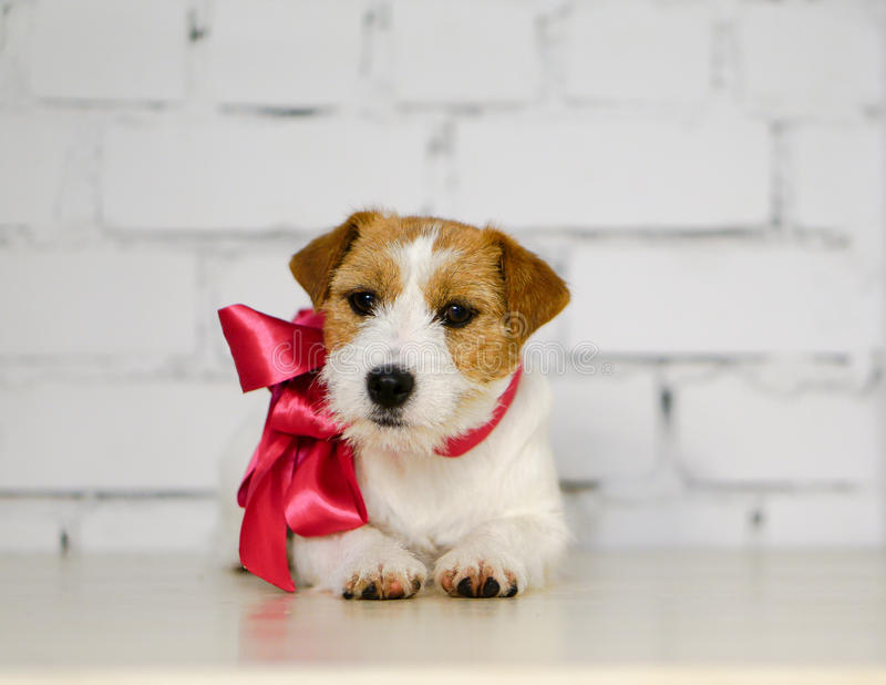 Rough Jack Russell terrier with pink collar and ribbon stock photo