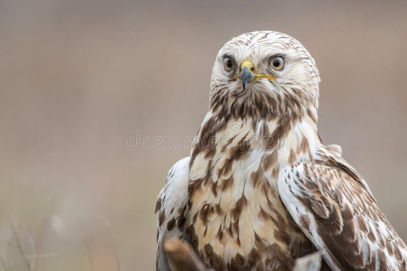 Rough-legged Buzzard. Buteo lagopus. Close-up portrait. Male stock photography