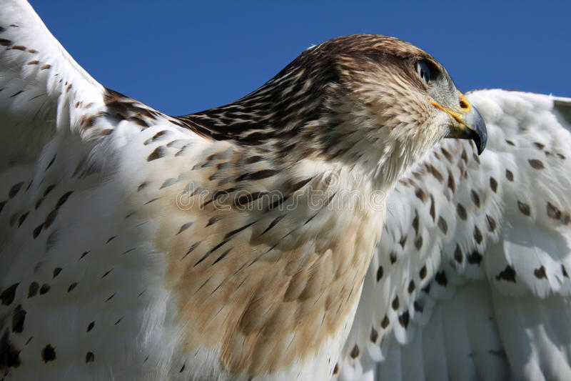 Download Rough Legged Hawk stock photo. Image of nobody, raptor - 14155288
