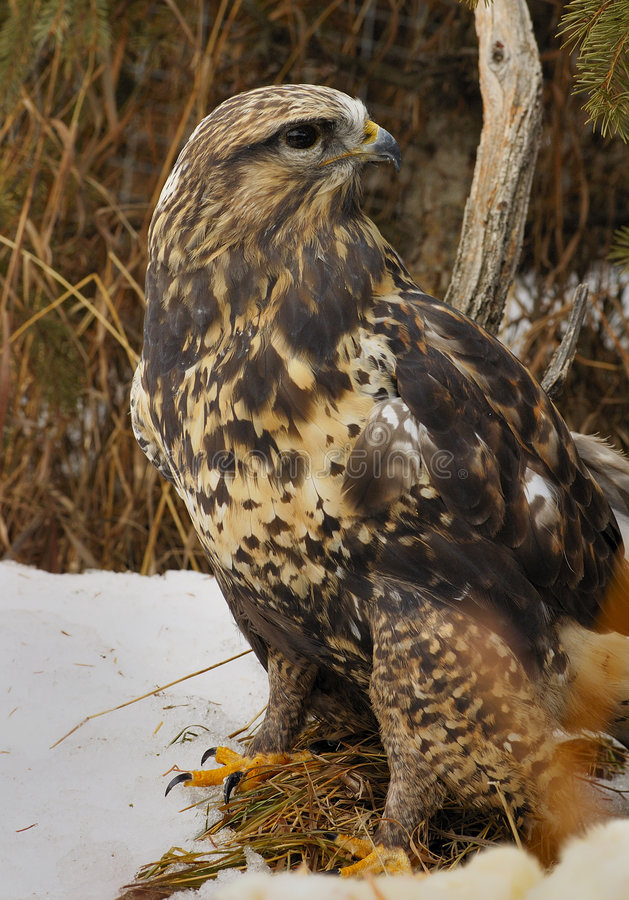 Download Rough-legged Hawk Royalty Free Stock Photography - Image: 2045377