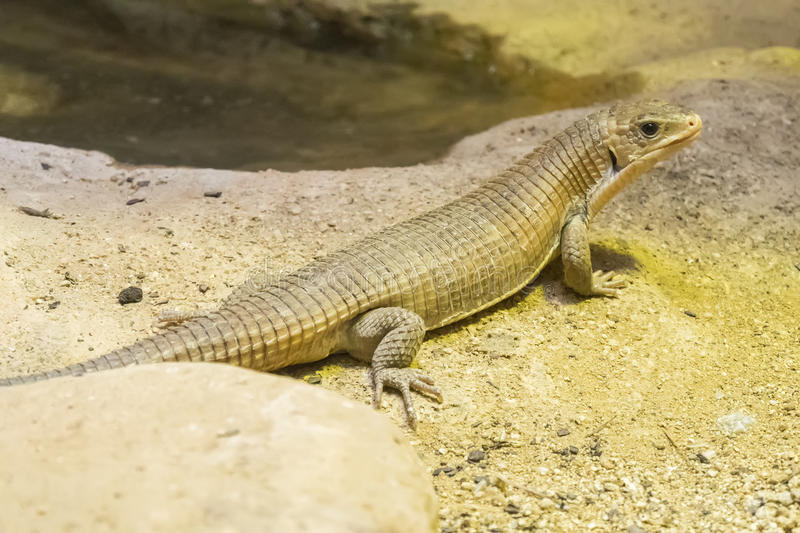 Rough-scaled plated lizard on the sand.  stock photos