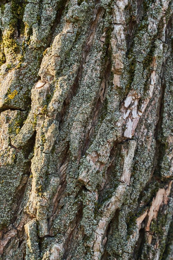 Rough texture of old tree with green and silver moss. Brownish-gray Tree Bark Background royalty free stock photo