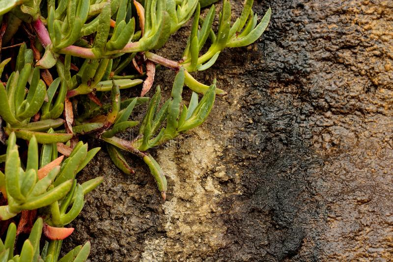 Rough wet sandstone wall texture with close up of green pink orange iceplant succulent clinging to the face of the wall. In background stock images