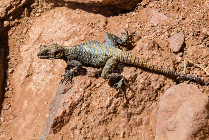Roughtail-Felsen Dickzungeneidechse Stellagama-stellio brachydactyla malte alias Drachen lizenzfreies stockbild