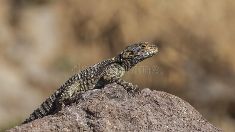 Roughtail Rock Agama. (Stellagama stellio) sunbathing on rock royalty free stock photo
