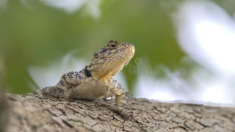 Roughtail Rock Agama on Tree royalty free stock image
