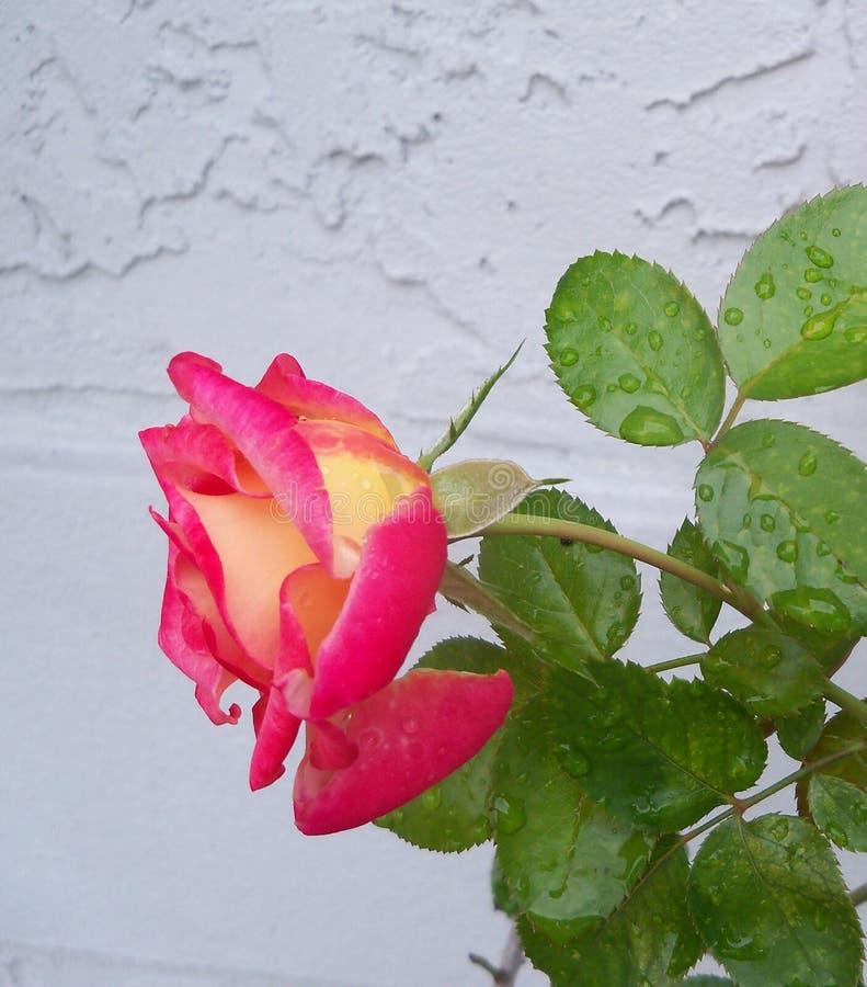 Rougissez et dentelez Dick Clark Rose coloré images stock