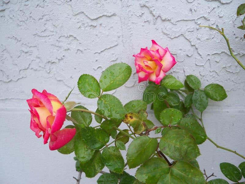 Rougissez et dentelez Dick Clark Roses coloré photographie stock libre de droits