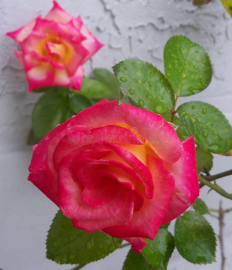 Rougissez et dentelez Dick Clark Roses coloré photographie stock