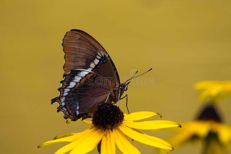 Rouillé - papillon incliné de page images stock