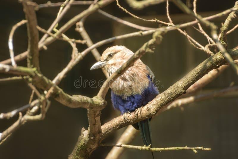 rouleau Bleu-gonflé, nids de cyanogaster de Coracias dans un trou dans un arbre - une cavité d'arbre image libre de droits